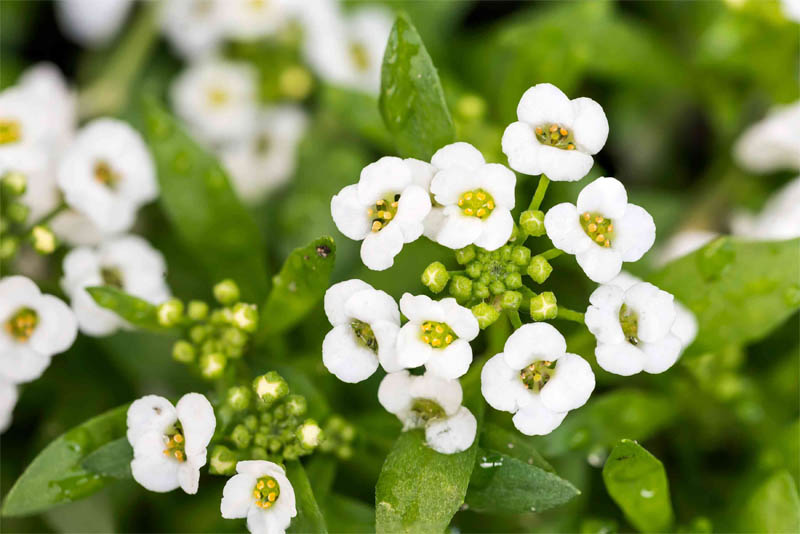 sweet-alyssum-fragrant-flowers