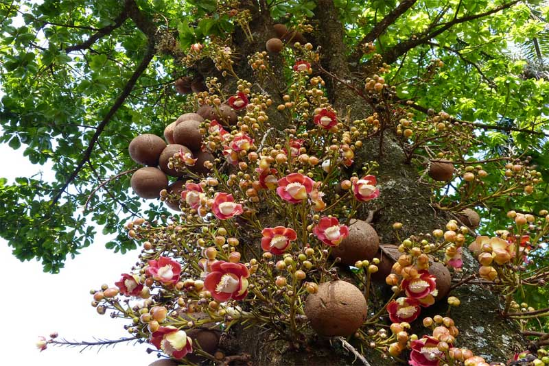 the-cannonball-tree-amazing-trees