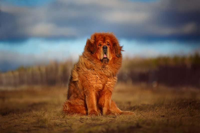 tibetan-mastiff-expensive-pets