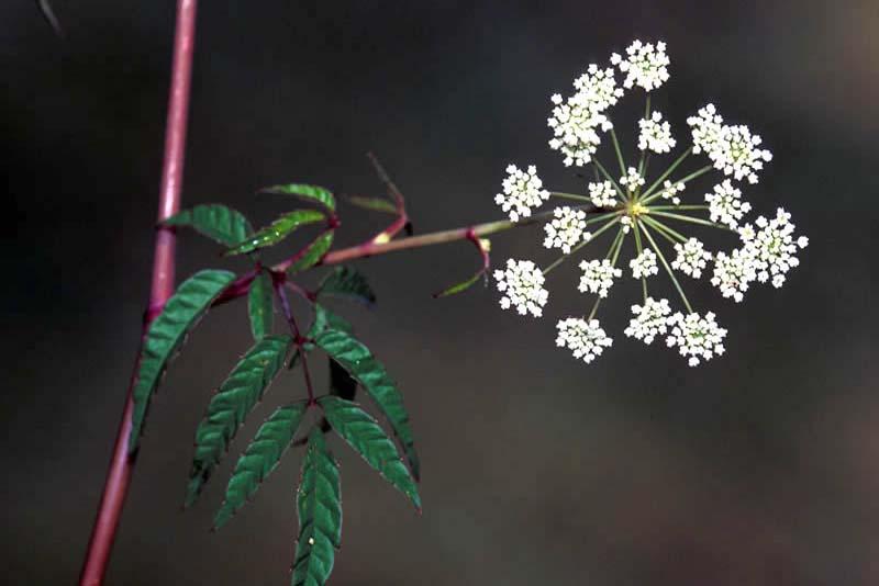 water-hemlock-poisonous-plants