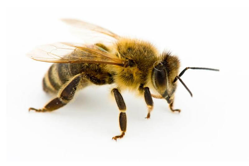 worker-honey-bees-shortest-lifespan