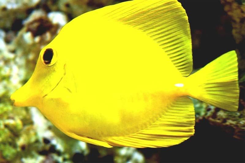 yellow-tang