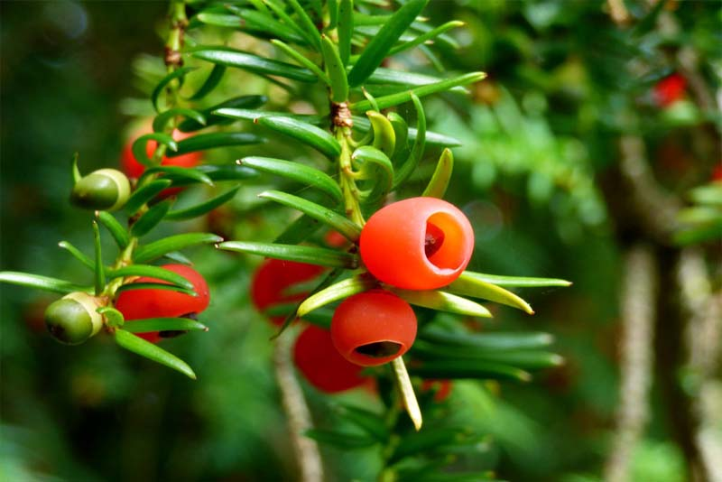 yew-berry-tree-deadly-fruits