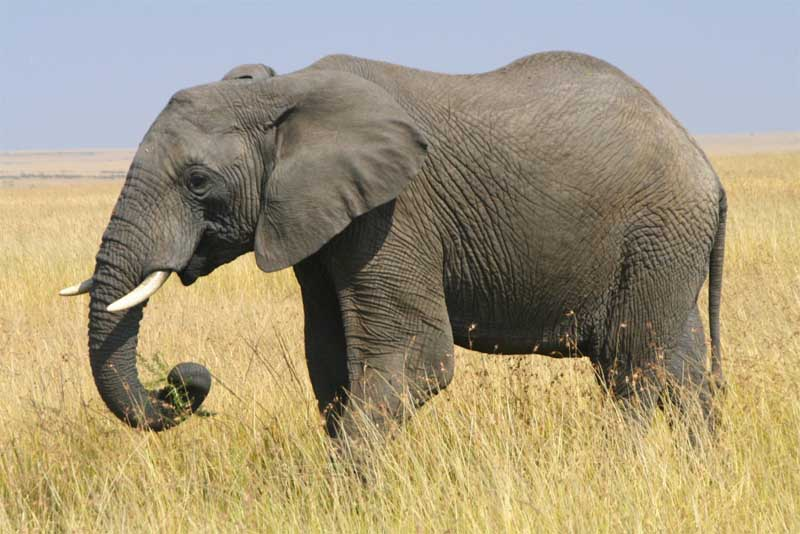 african-bush-elephant-heaviest-animal