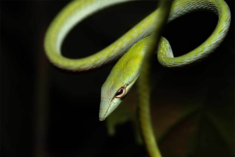 asian-vine-snake-beautiful-snake