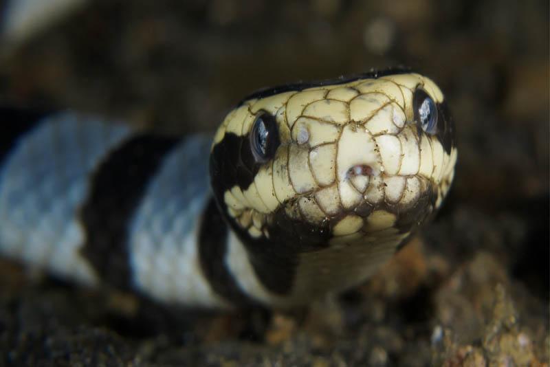 banded-sea-krait-beautiful snake