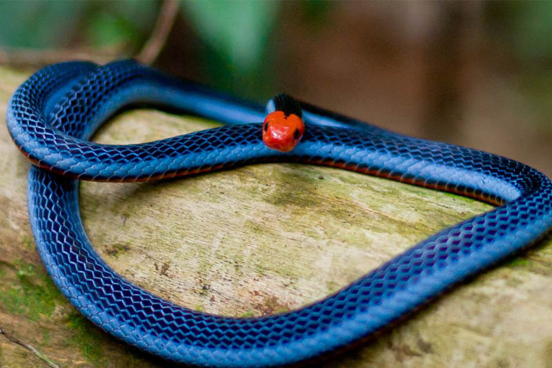 blue-coral-snake-beautiful-snake