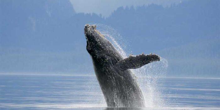 blue-whale-heaviest-animal