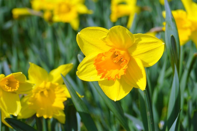 daffodils-beautiful-flower