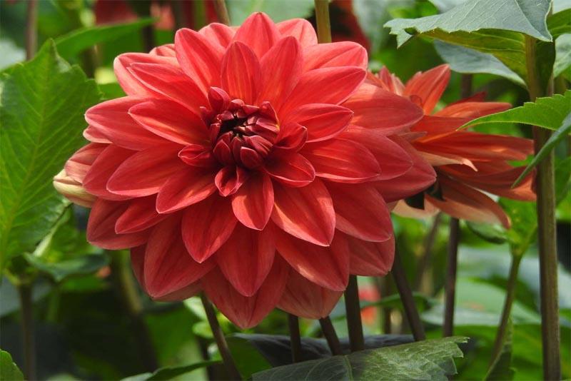 dahlia-beautiful-flower