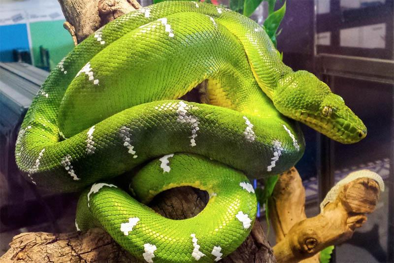emerald-tree-boa-beautiful-snake