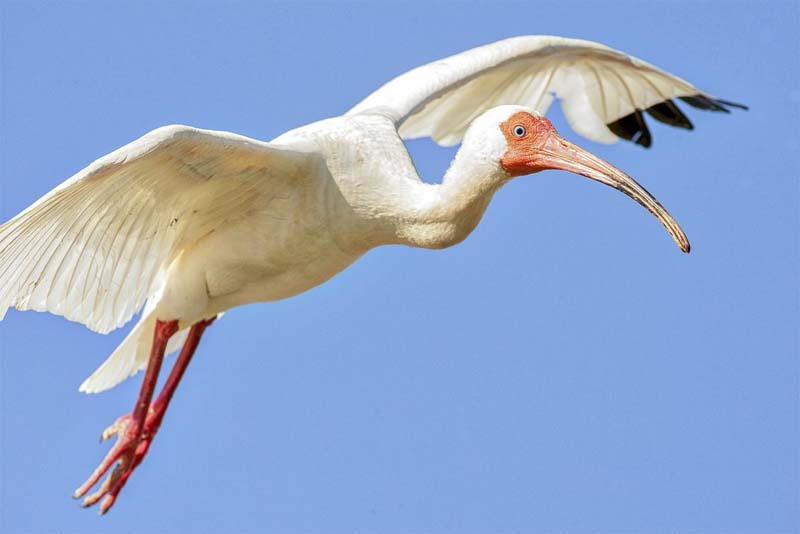 eudocimus-albus-white-bird