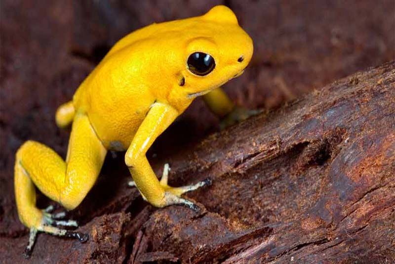 golden-frog-toughest-animal