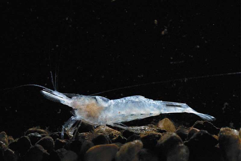 kentucky-cave-shrimp-blind-animal