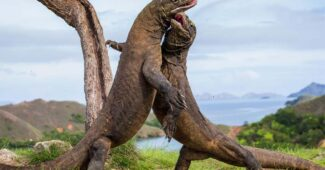 komodo-dragon-toughest-animal