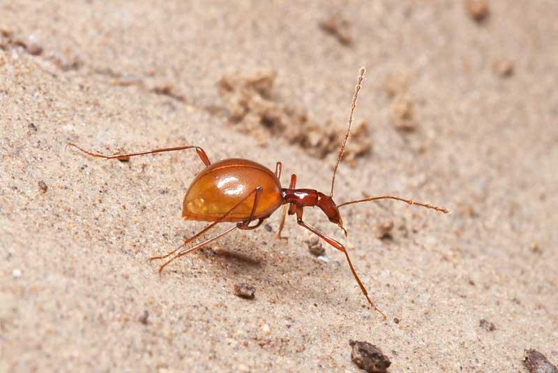leptodirus-beetle-blind-animal