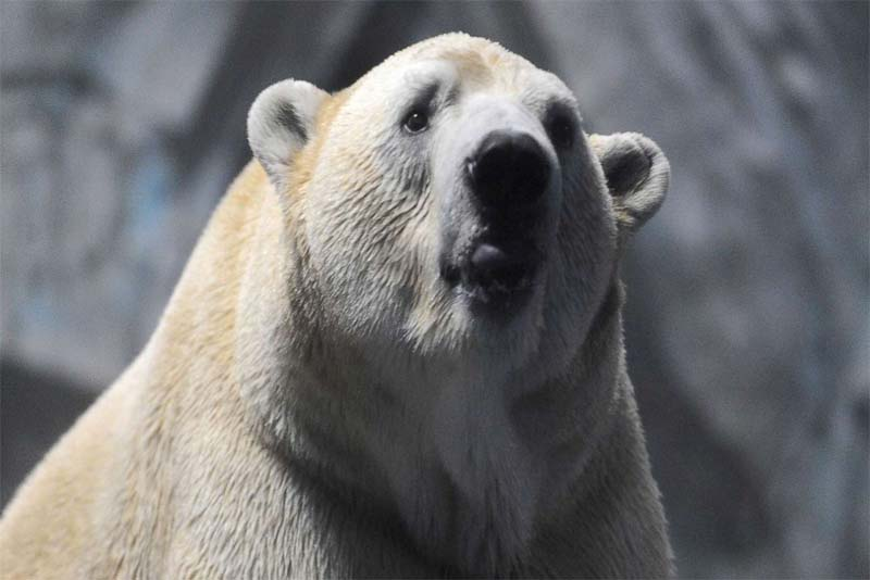 polar-bear-heaviest-animal