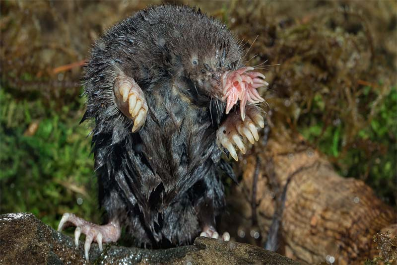 star-nosed-mole-blind-animal