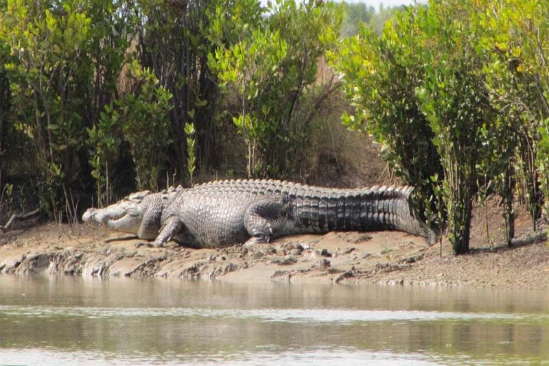 saltwater-crocodile-toughest-animal