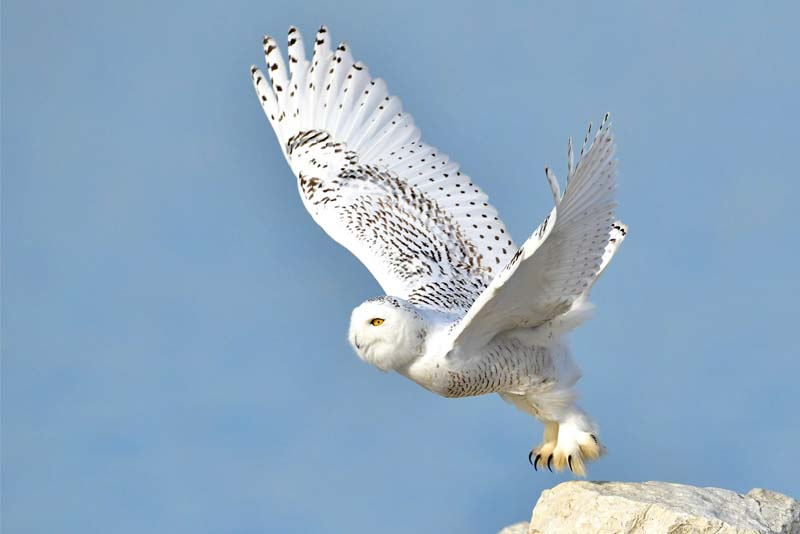 snowy-owl-white-bird