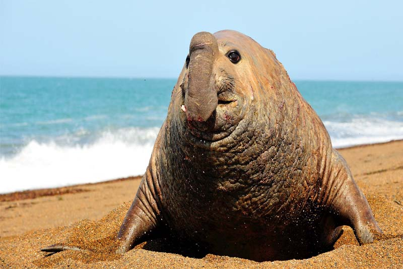 southern-elephant-seal-heaviest-animal