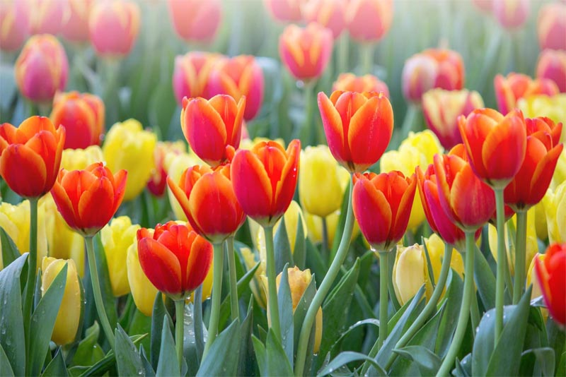 tulips-beautiful-flower