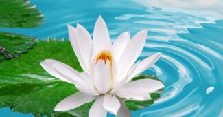 white-lotus-beautiful-flower