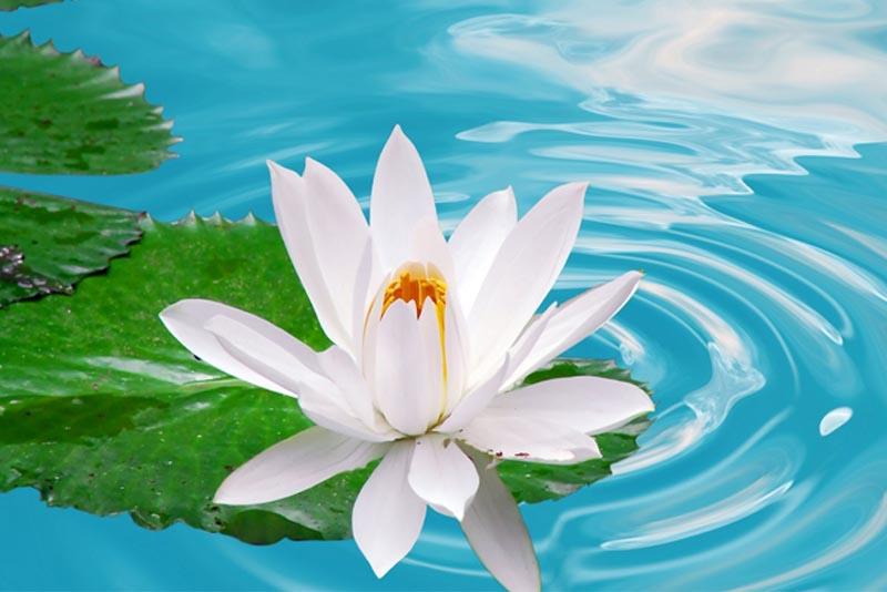 white-lotus-beautiful-flower