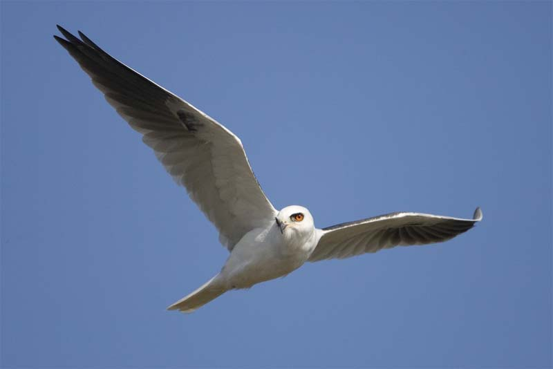 white-tailed-kite-white-bird
