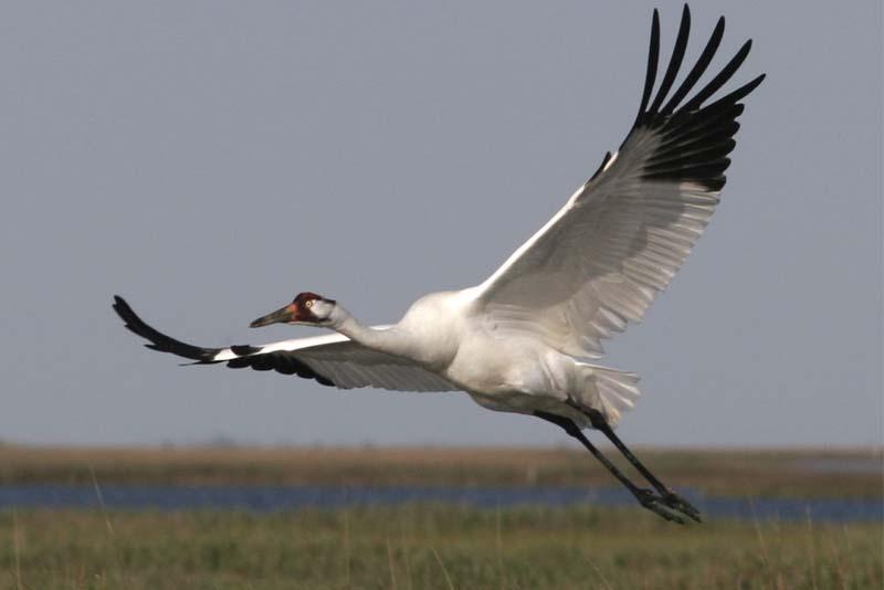 whooping-crane-white-bird
