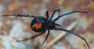 black-widow-spider-scariest-spiders