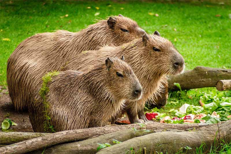 capybara-friendliest-animals