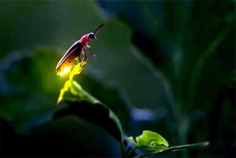 firefly-bio-luminescent-animal