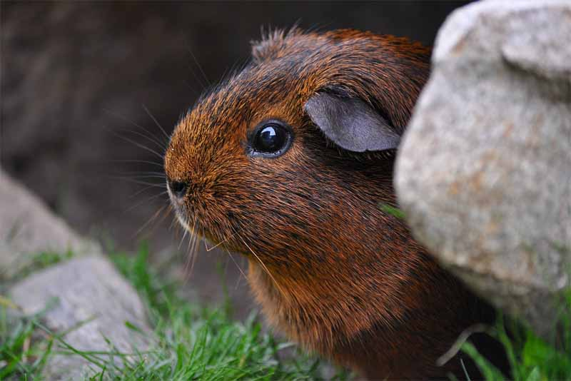guinea-pig-friendliest-animals