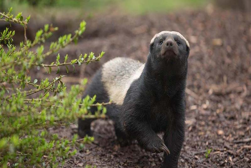 honey-badger-toughest-animal