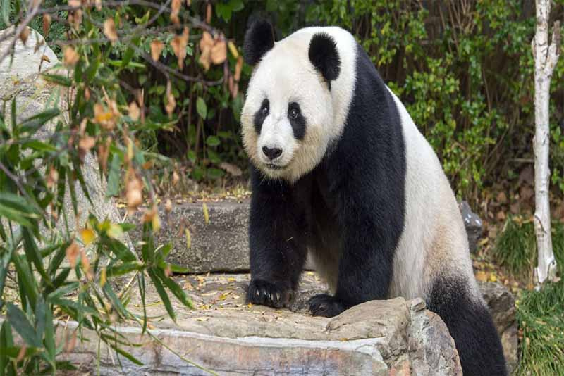 panda-friendliest-animals
