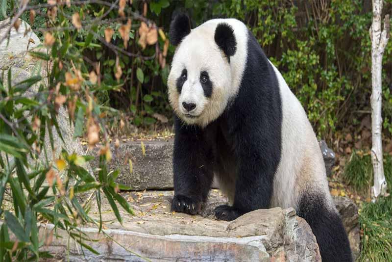 panda-friendliest-animals