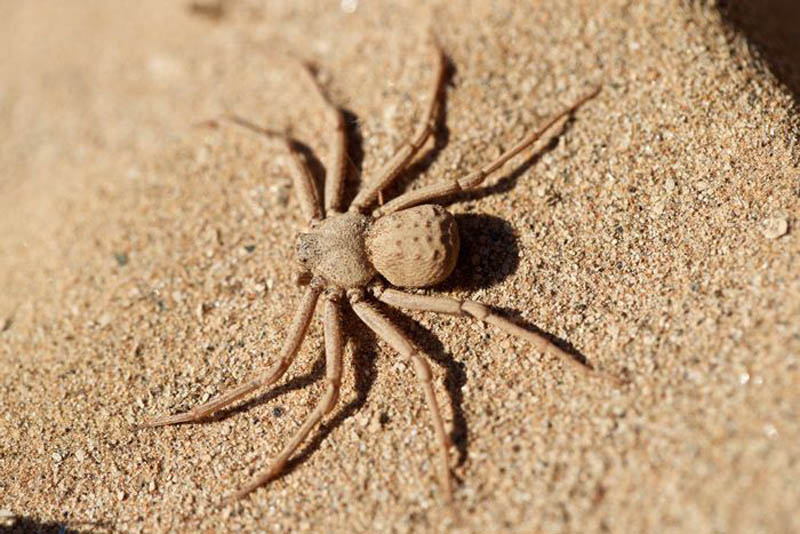six-eyed-sac-spider-scariest-spiders