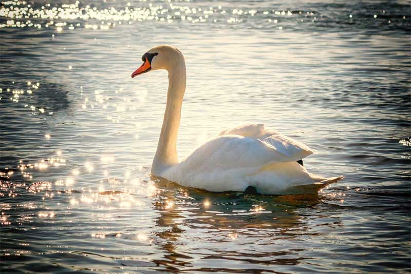 swan-friendliest-animals