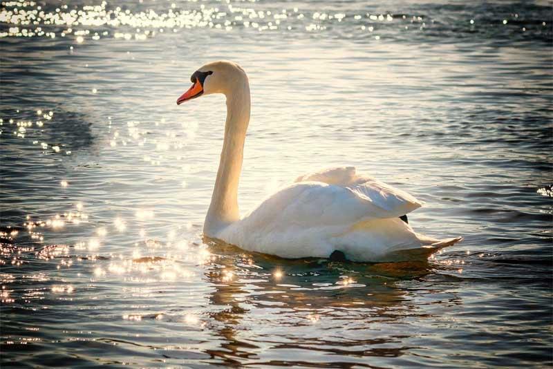 swan-friendliest-animals