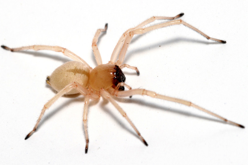 yellow-sac-spider-scariest-spiders