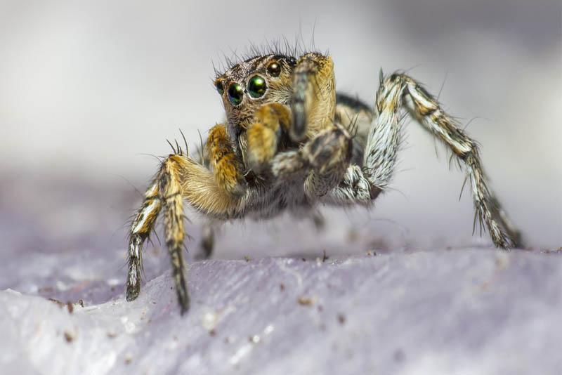 zebra-spider-scariest-spiders