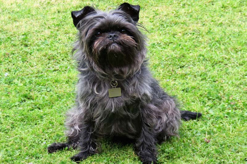 affenpinscher-german-breed-dogs