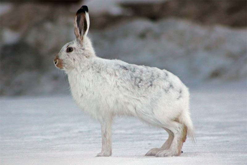 arctic-hare-cold-weather-animals