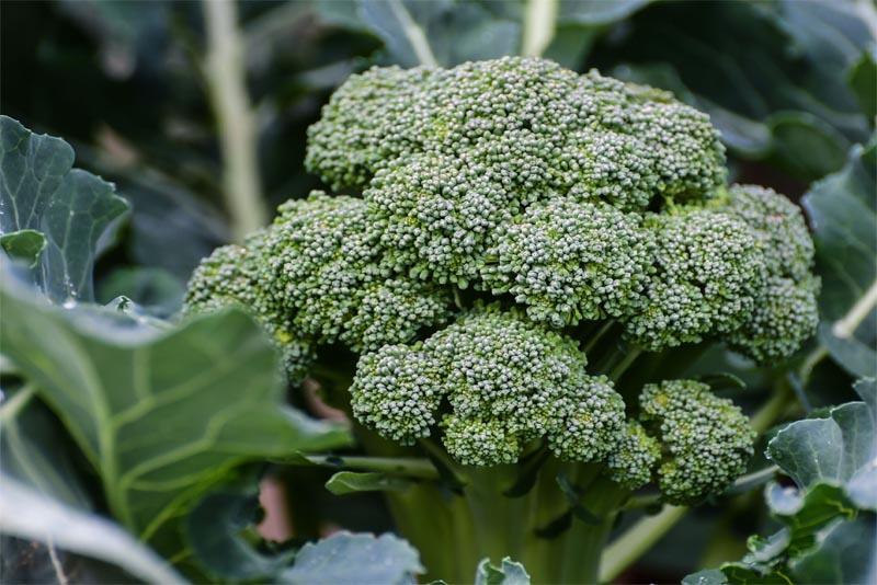 broccoli-Immune-System