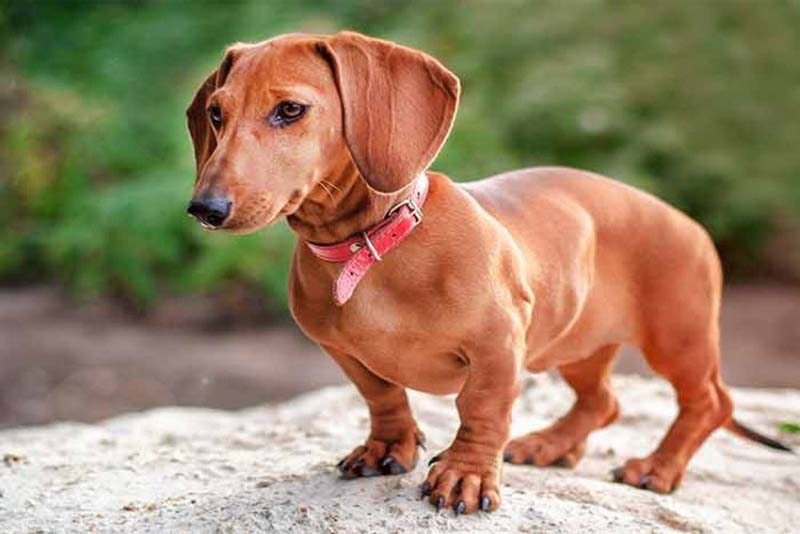 dachshund-german-breed-dogs