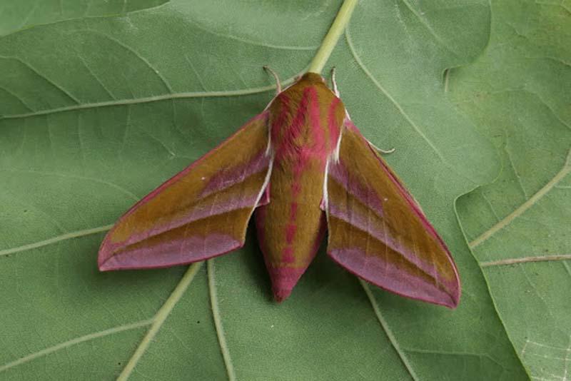 deilephila-elpenor-pink-animals