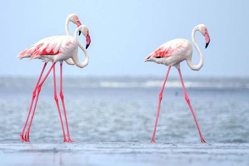 flamingos-pink-animals