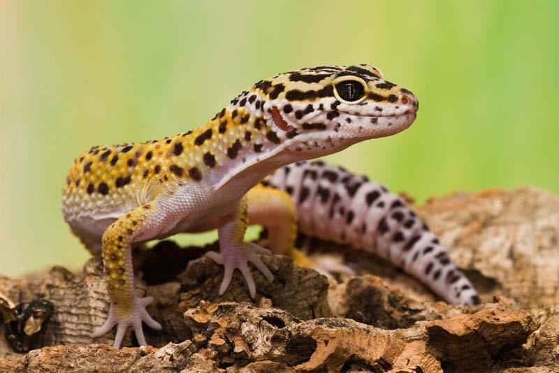 gecko-pink-animals