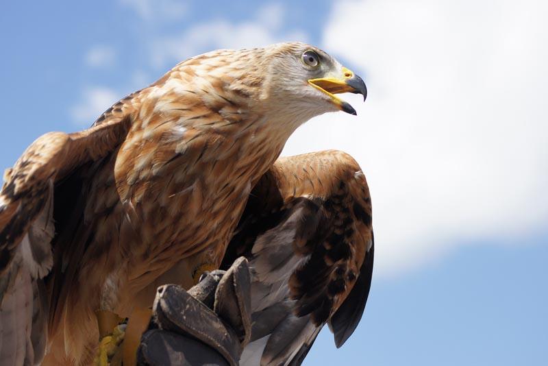 golden-eagle-apex-predators
